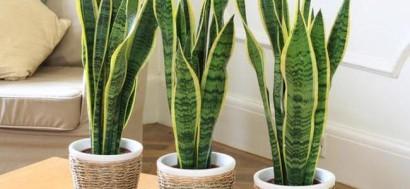 Plantas purificadoras de ambientes
